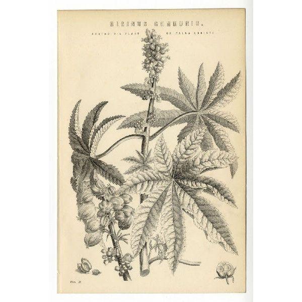 1885 Antique Print Castor Oil Plant Ricinus Communis Palma Christi Botanical On Ebid United States 131237488